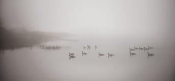 Oies canadiennes nageant en brouillard lourd Photographie stock libre de droits