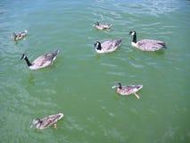 Oies canadiennes nageant parmi des canards sur l'eau verte de lac Photo stock