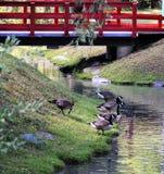 Oies canadiennes, pays des merveilles du ` s de Canada photographie stock libre de droits