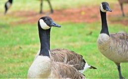 Oies canadiennes sur le lac Hefner photo stock