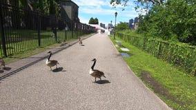 Oies canadiennes sur Roosevelt Island à New York City -2 banque de vidéos