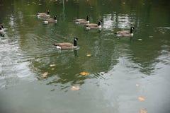 Oies canadiennes sur un lac avec des feuilles d'érable d'automne en parc photographie stock libre de droits