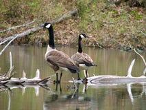 Oies canadiennes sur un logarithme naturel Image stock