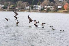 Oies canadiennes volant près de la rivière Images stock