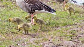 Oies cendrées (Anser d'Anser) avec leur progéniture en Allemagne Images libres de droits