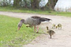 Oies cendrées (Anser d'Anser) avec leur progéniture en Allemagne Photographie stock libre de droits