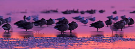 Oies cendrées avant coucher du soleil Photo stock