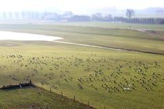 Oies cendrées dans le paysage néerlandais de rivière, Brummen Photographie stock libre de droits