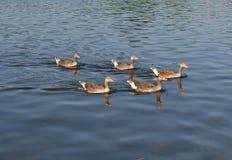 Oies cendrées nageant dans la formation Photos libres de droits