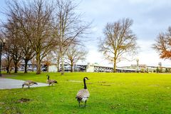 Oies chez Tom McCall Waterfront Park image stock