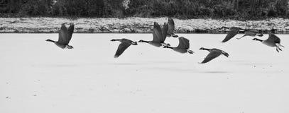 Oies décollant au-dessus d'un lac figé image stock