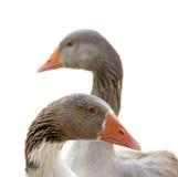 Oies d'isolement Photographie stock libre de droits