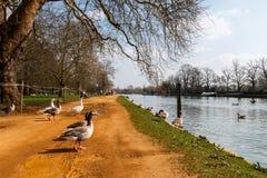 Oies d'Oxford Images libres de droits