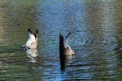 Oies d'un couple plongeant pour la nourriture photographie stock