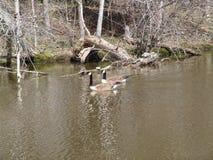 Oies dans l'eau Photo libre de droits