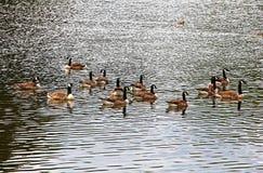 Oies dans le lac Photographie stock libre de droits