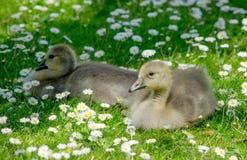 Oies de bébé dans un domaine des marguerites minuscules Photographie stock libre de droits