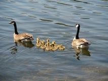 Oies de bébé nageant avec la maman et le papa Photo libre de droits