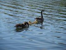 Oies de bébé nageant avec la maman et le papa Image stock