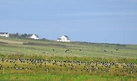Oies de bernache d'hivernage Photographie stock libre de droits