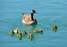 Oies de Canada Photos libres de droits