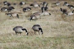 Oies de Canada alimentant et se reposant dans Autumn Field Images stock