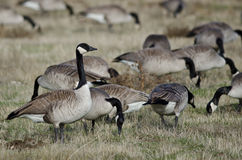 Oies de Canada alimentant et se reposant dans Autumn Field Image libre de droits