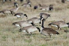 Oies de Canada alimentant et se reposant dans Autumn Field Photos libres de droits