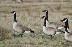 Oies de Canada alimentant et se reposant dans Autumn Field Photographie stock
