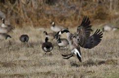 Oies de Canada débarquant dans Autumn Field Photos stock