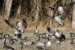Oies de Canada débarquant dans Autumn Field Images stock