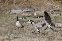 Oies de Canada débarquant dans Autumn Field Photo stock