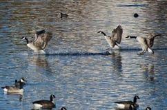 Oies de Canada débarquant dans l'eau Photographie stock libre de droits