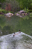 Oies de Canada de famille Images libres de droits