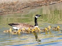 Oies de Canada de mère et de bébé Photographie stock