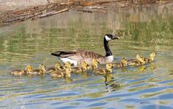 Oies de Canada de mère et de bébé Photo libre de droits