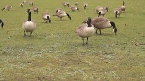 Oies de Canada mangeant l'herbe banque de vidéos