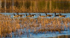 Oies de Canada nageant dans la ligne photographie stock
