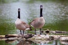 Oies de Canada par l'étang au parc de Malden Images libres de droits
