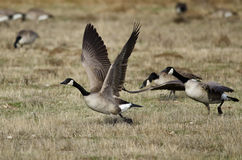 Oies de Canada prenant au vol d'Autumn Field Photographie stock libre de droits