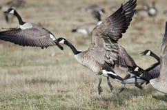 Oies de Canada prenant au vol d'Autumn Field Image stock