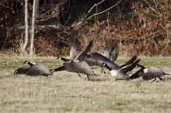 Oies de Canada prenant au vol d'Autumn Field Photographie stock