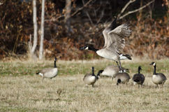 Oies de Canada prenant au vol d'Autumn Field Photos stock