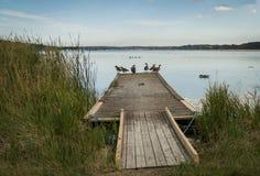 Oies de Canada sur le pilier Image stock