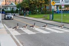 Oies de Canada traversant une route sur un passage clouté Photographie stock libre de droits
