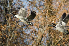 Oies de Canada volant à travers Autumn Woods Photo stock