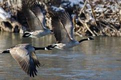 Oies de Canada volant au-dessus d'une rivière d'hiver Image libre de droits