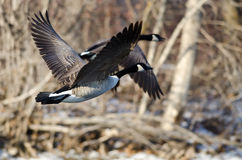 Oies de Canada volant au-dessus d'une rivière d'hiver Photos stock
