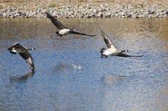 Oies de Canada volant au-dessus de l'eau Photo stock