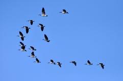 Oies de Canada volant dans le ciel bleu Photo stock